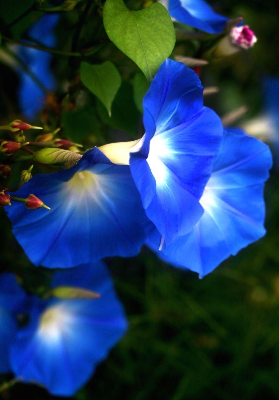 Blue Monday Pixdaus Morning Glory Flowers Morning Glory Beautiful Flowers