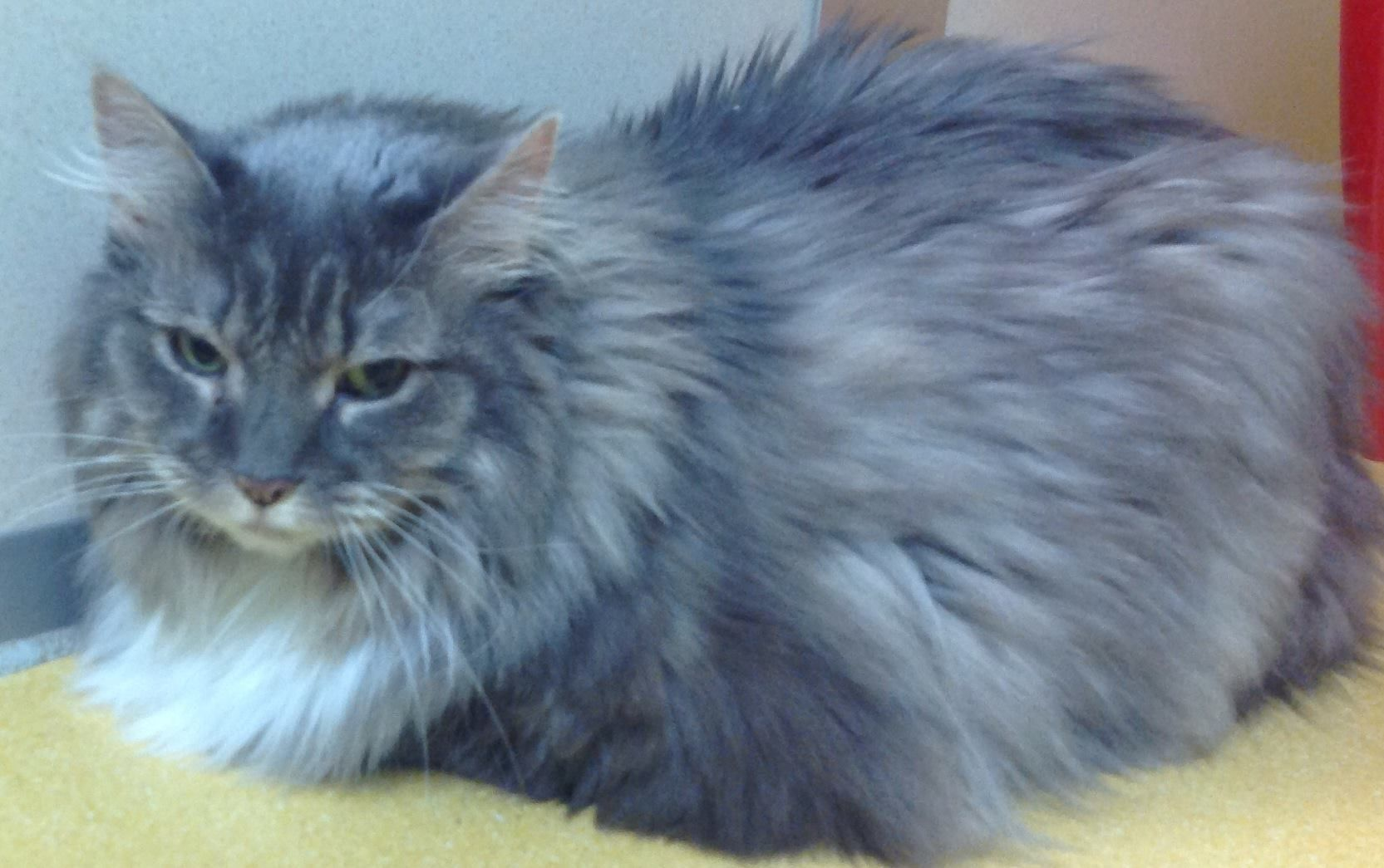 11 March 2014 Annie is a 7yearold Maine Coon