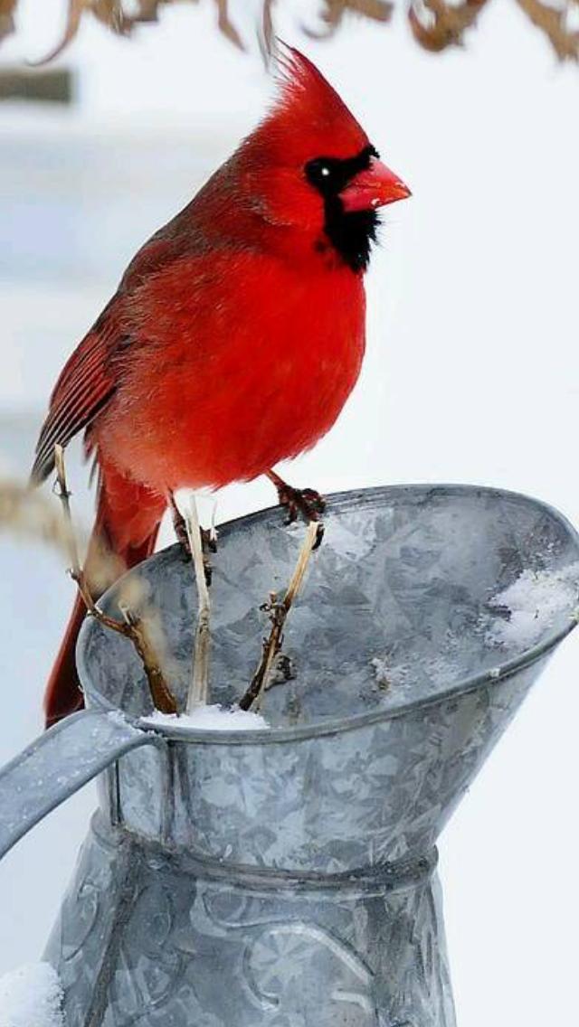 Pin De Karina En Aves Pajaros Cardenales Aves Pintura De Pajaros