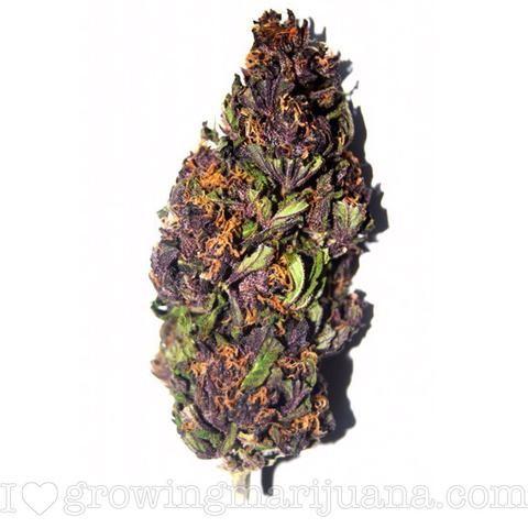 Purple Haze (fem)