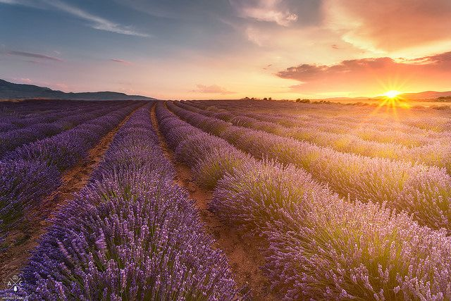 Lavender fields | Flickr - Photo Sharing!