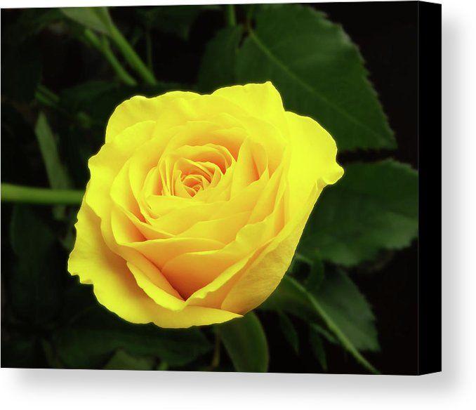Glorious Yellow Rose Canvas Print / Canvas Art by Johanna Hurmerinta ...