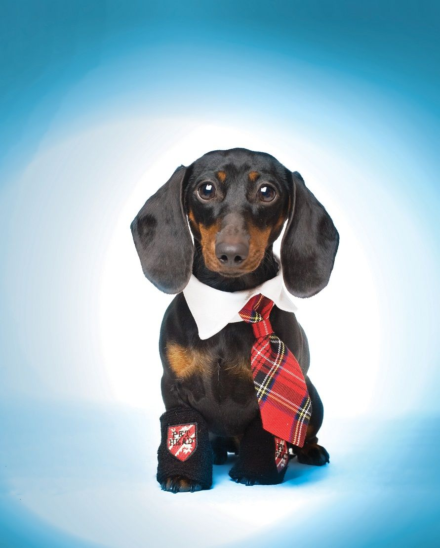 Back To School Dachshund Omg Stefanie Morris Weenie Dogs