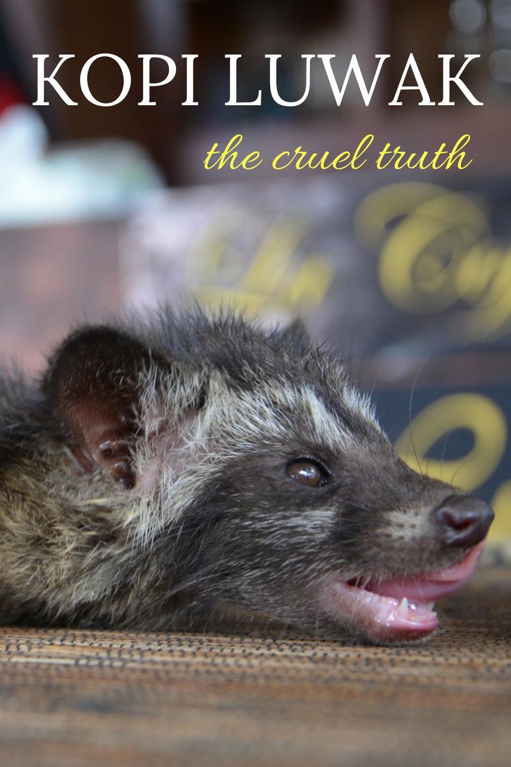 Is kopi luwak the best cofee in the world? We are revealing the cruel truth behind kopi luwak..