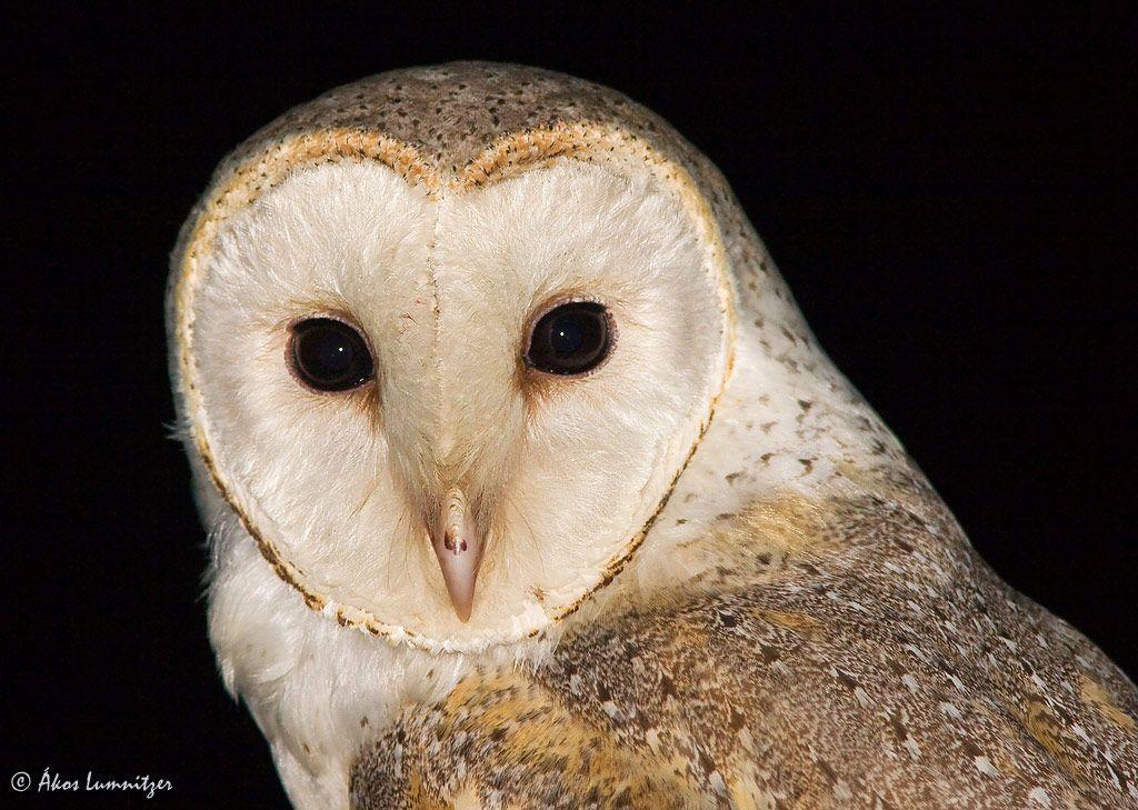 barn owl pictures   Gallery » AUSTRALIAN BIRDS » Tytonidae ...