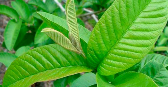 Hoja Milagrosa Para Tratar El Cáncer De Próstata Viralistas Pro Guava Leaves Leaves Guava