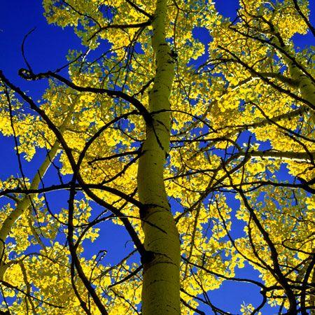 Quaking Aspen on Fast Growing Trees Nursery