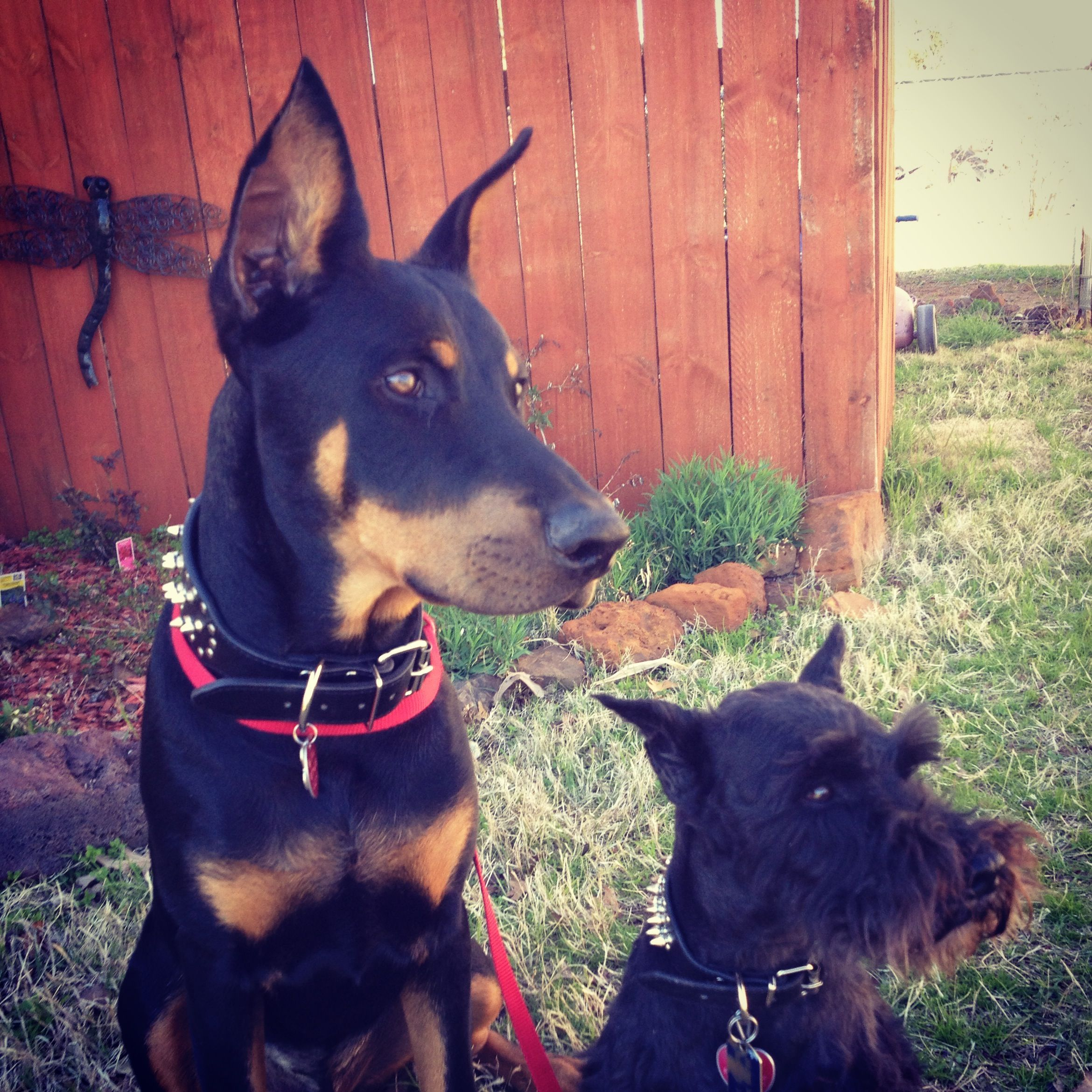 Male Doberman And A Male Schnauzer Our Four Legged Friends
