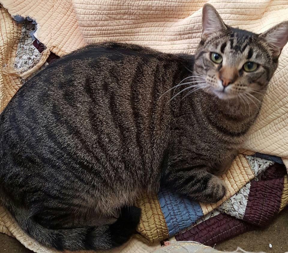 Atticus Cat adoption, Cats and kittens, Australian