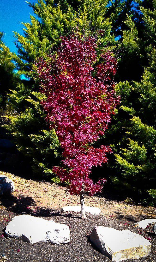 Twomblys Red Sentinel Japanese Maple japanesemaple