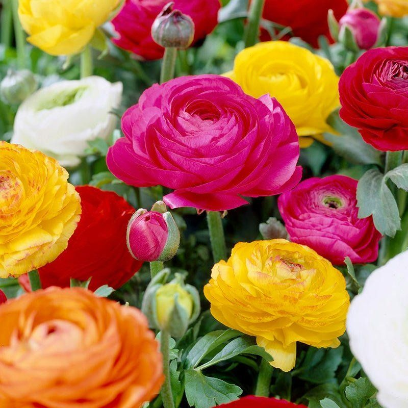 Tecolote Ranunculus Mix Bulb Flowers Summer Flowering Bulbs Rose Like Flowers