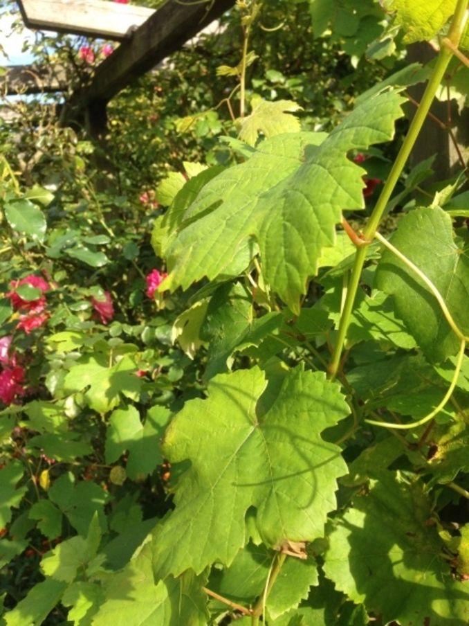 Weinblätter in Salzlake konservieren