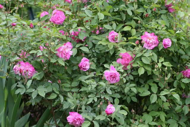 rosas na roseira - Pesquisa Google