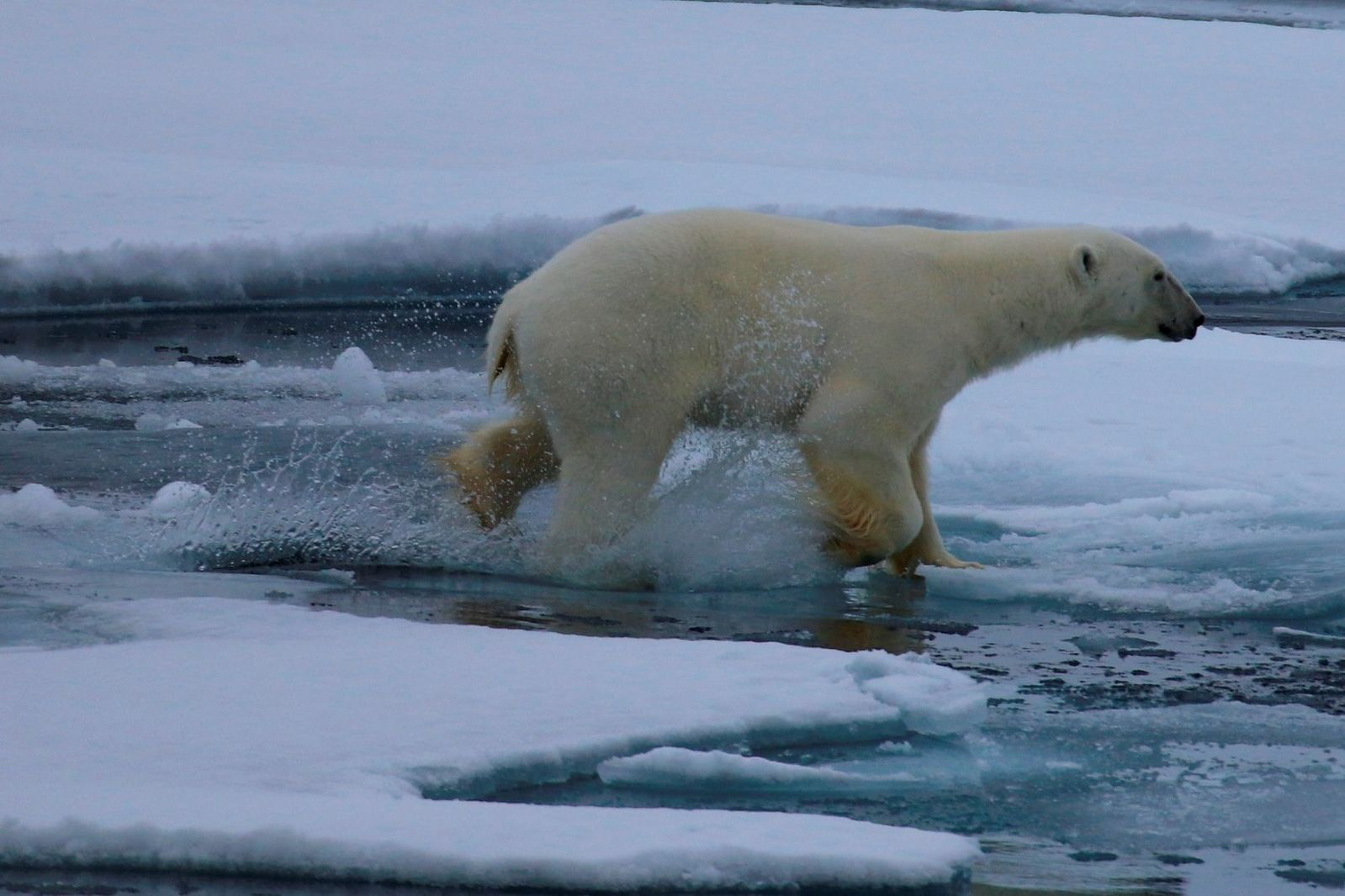 Polar Bears Are The Unquestionable Kings And Queens Of The Circumpolar North Beautiful To Behold Terrifying To Confront And A Polar Bear Polar Arctic Habitat