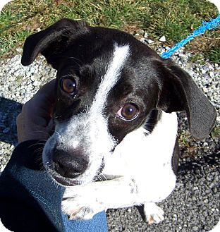 Reeds Spring Mo Beagle English Springer Spaniel Mix Stefani Is