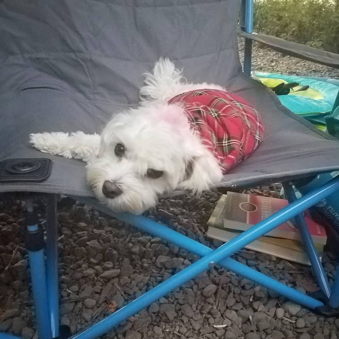 Flannel shirts for dogs  Her own camp chair and flannel shirt maximum hipster  Havanese