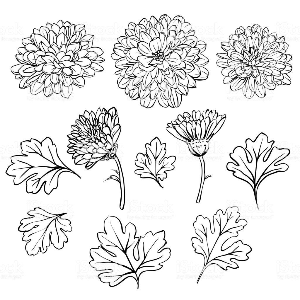 Beautiful Chrysanthemum Flowers Royalty Free Beautiful Chrysanthemum Flowers Stock Vecto Chrysanthemum Tattoo Chrysanthemum Flower Tattoo Chrysanthemum Drawing