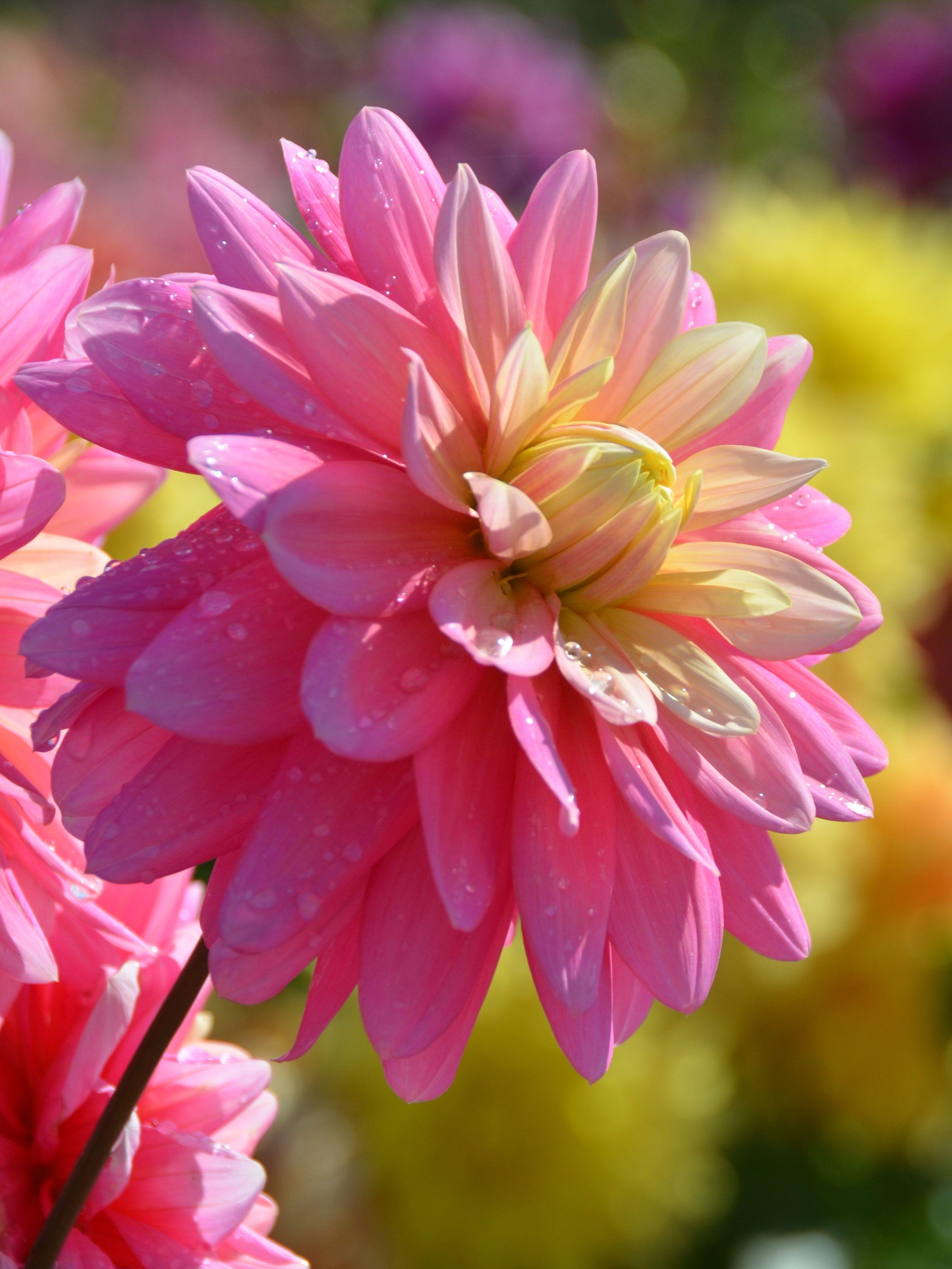 Dahlia Decoratif Bel Amour Label Rouge Dahlia Fleur Rose Bel