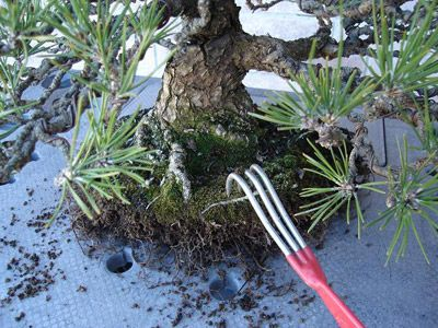 How To: Repotting The Japanese Black Pine   Dallas Bonsai Blog