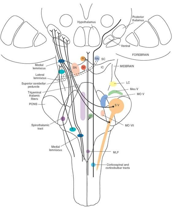 The loci of the major cell groups and fiber tracts at the