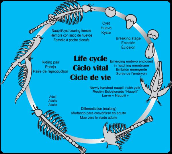 Life Cycle of Sea Monkeys What are Aqua Dragons? | Official Aqua ...
