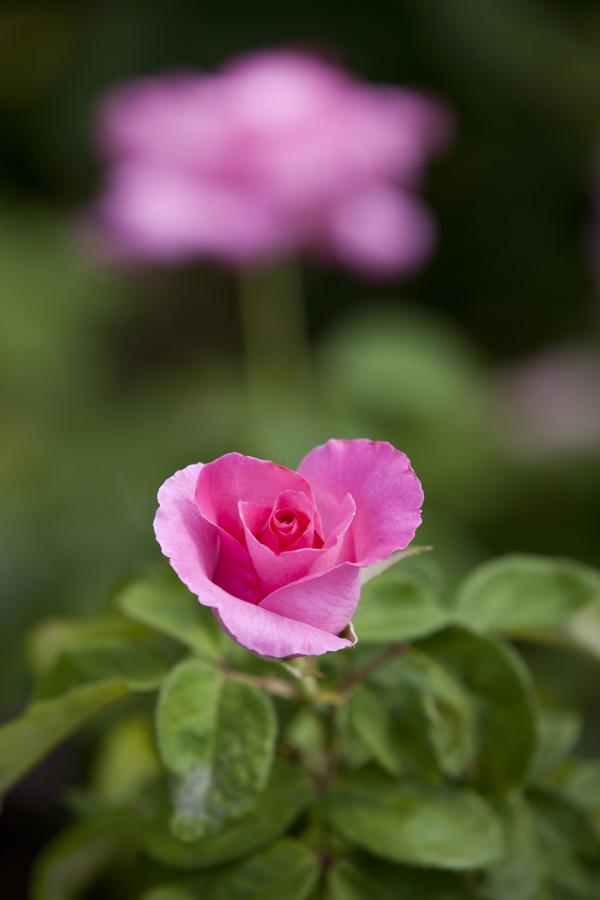 'The McCartney Rose'   Hybrid Tea Rose. Alain Meilland (France, before 1988)