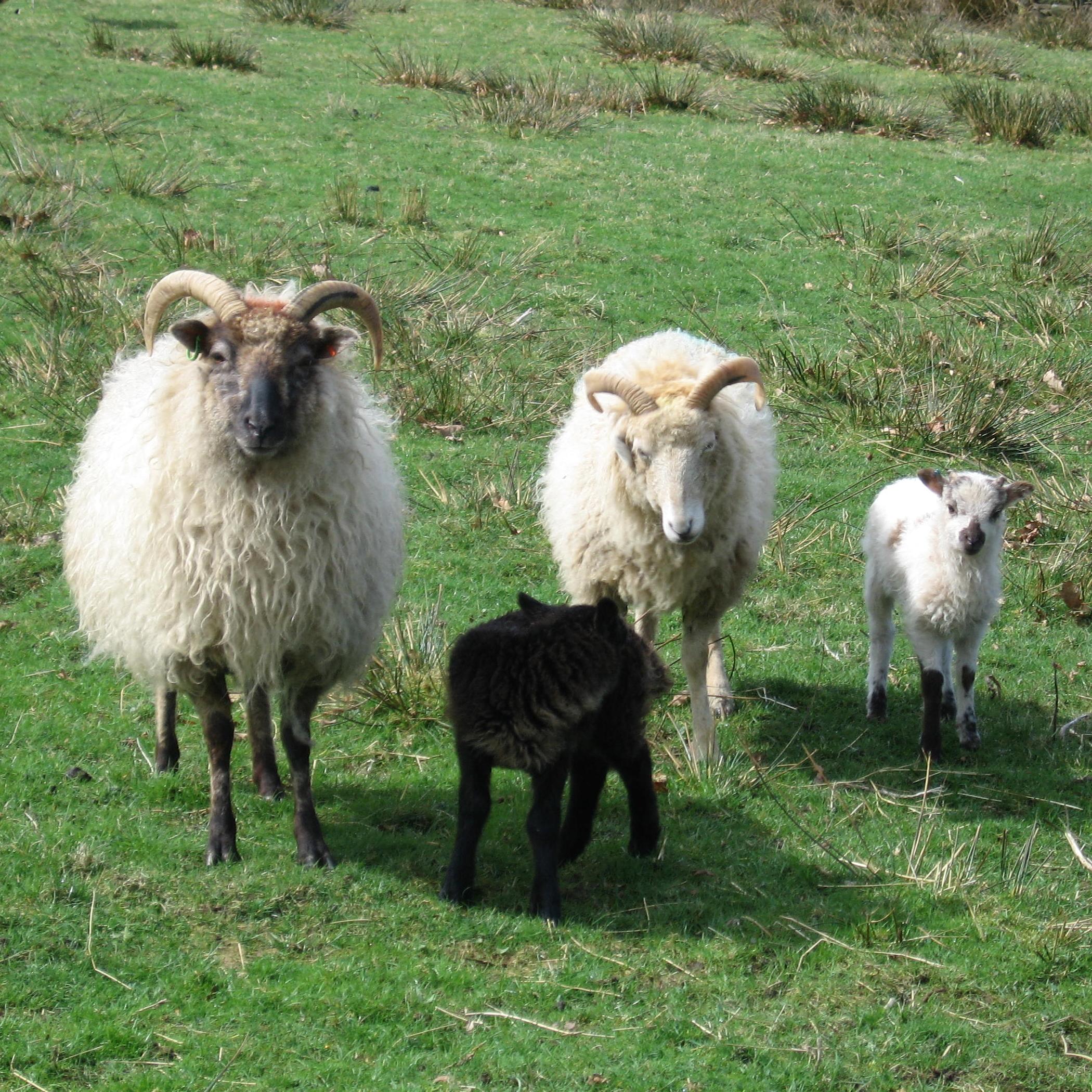 Image result for boreray sheep Sheep breeds, Sheep