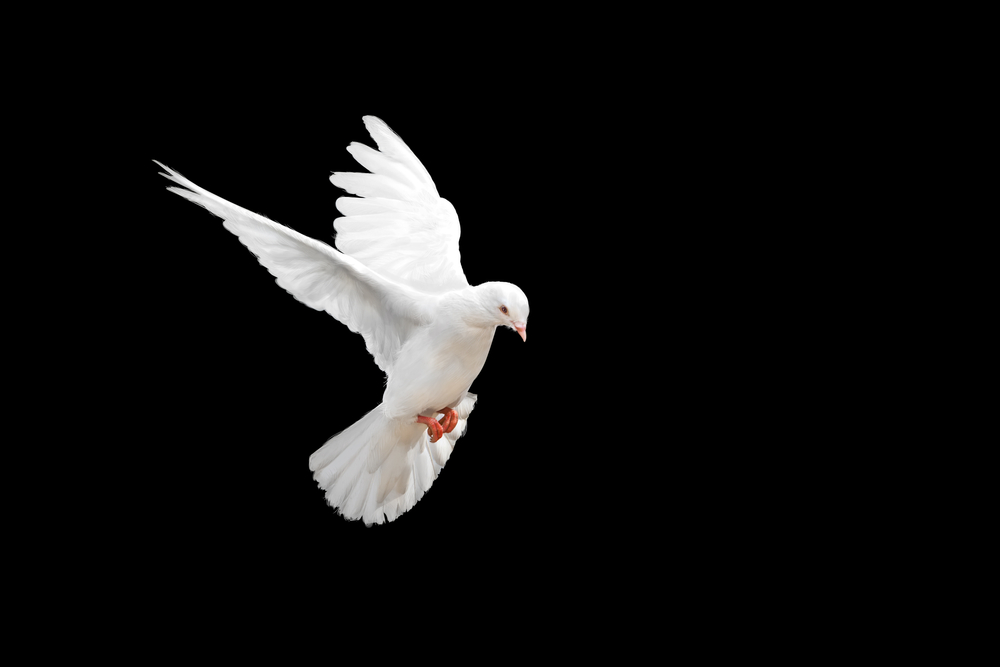Peace White Bird Free Images Merry Christmas 2021 Find White Dove Flying On Black Background Stock Images In Hd And Millions Of Other Royalty Free Stock Photos Illustration Dove Flying White Doves Dove Images