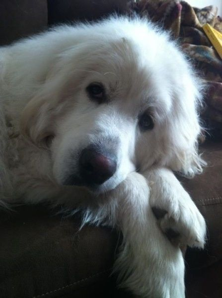 Great Pyrenees Found A Pup Looks Just Like Him I Wanna Keep