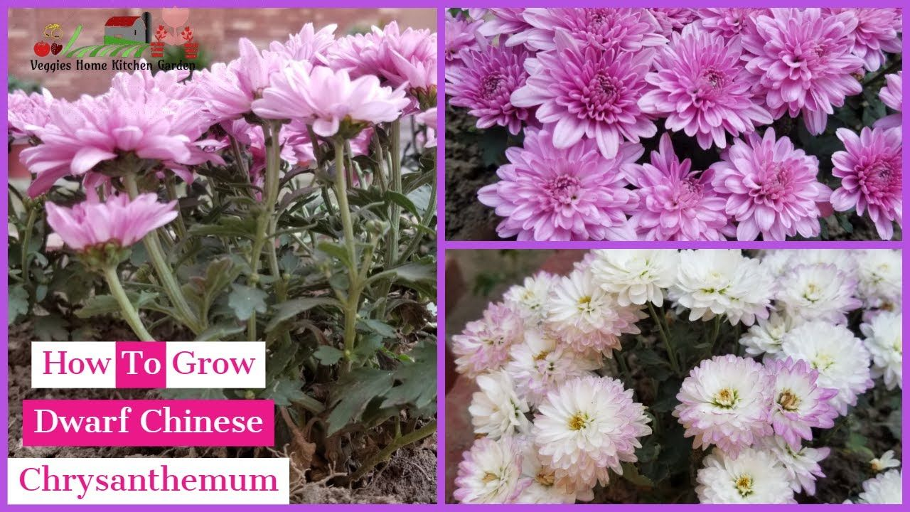 How To Grow Chinese Dwarf Chrysanthemum Flowers With Winter Care Tips Chrysanthemum Flower Chrysanthemum Hardy Mums