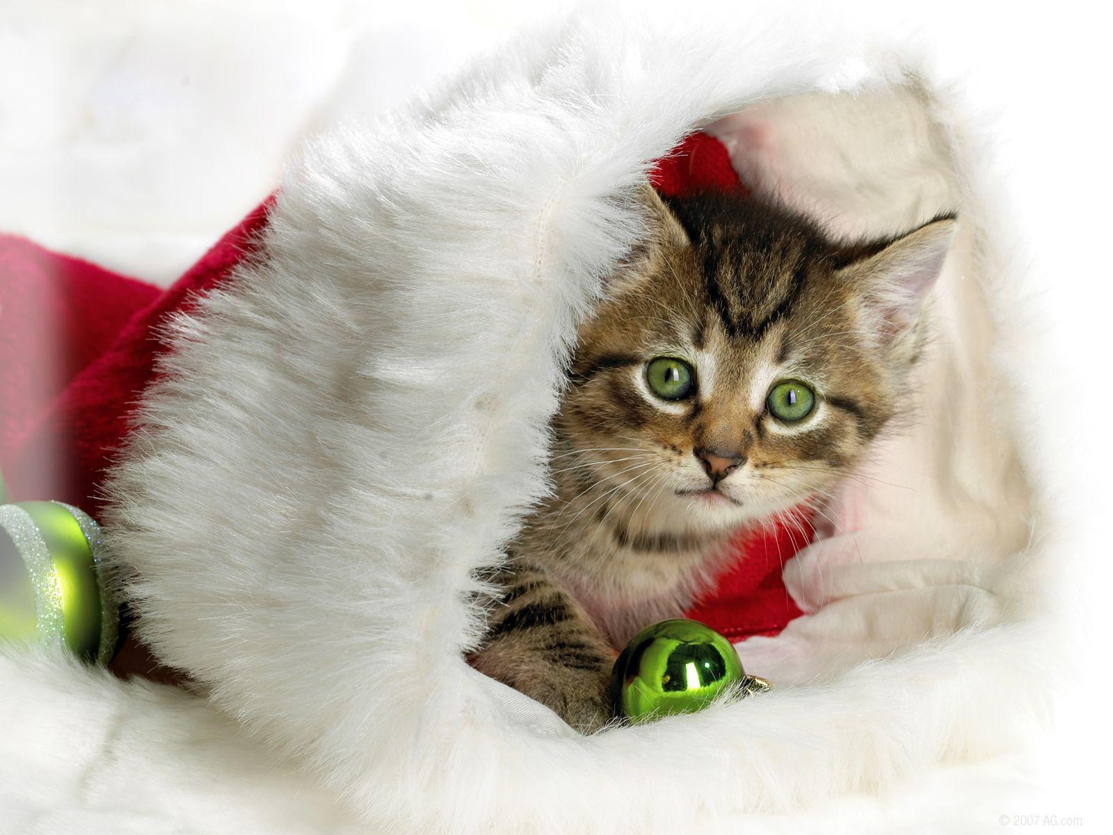 Google Image Result For Http Zverki Org Wp Content Uploads 2010 12 01 New Year Cats Jpg Chats De Noel Cute Kittens Chaton De Noel