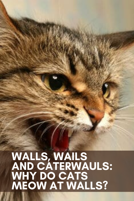 Walls, Wails, and Caterwauls Why Do Cats Meow at Walls