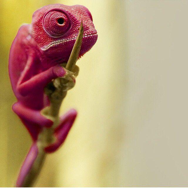 Red Baby Chameleon