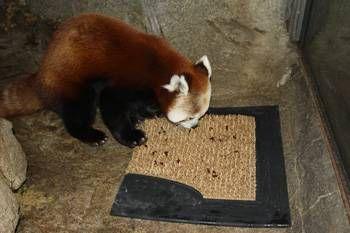 Red Panda Dublin Zoo Pet Birds