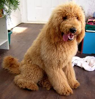 Long Haired Red Poodle Poodle Puppy Standard Poodle Puppy Apricot Standard Poodle