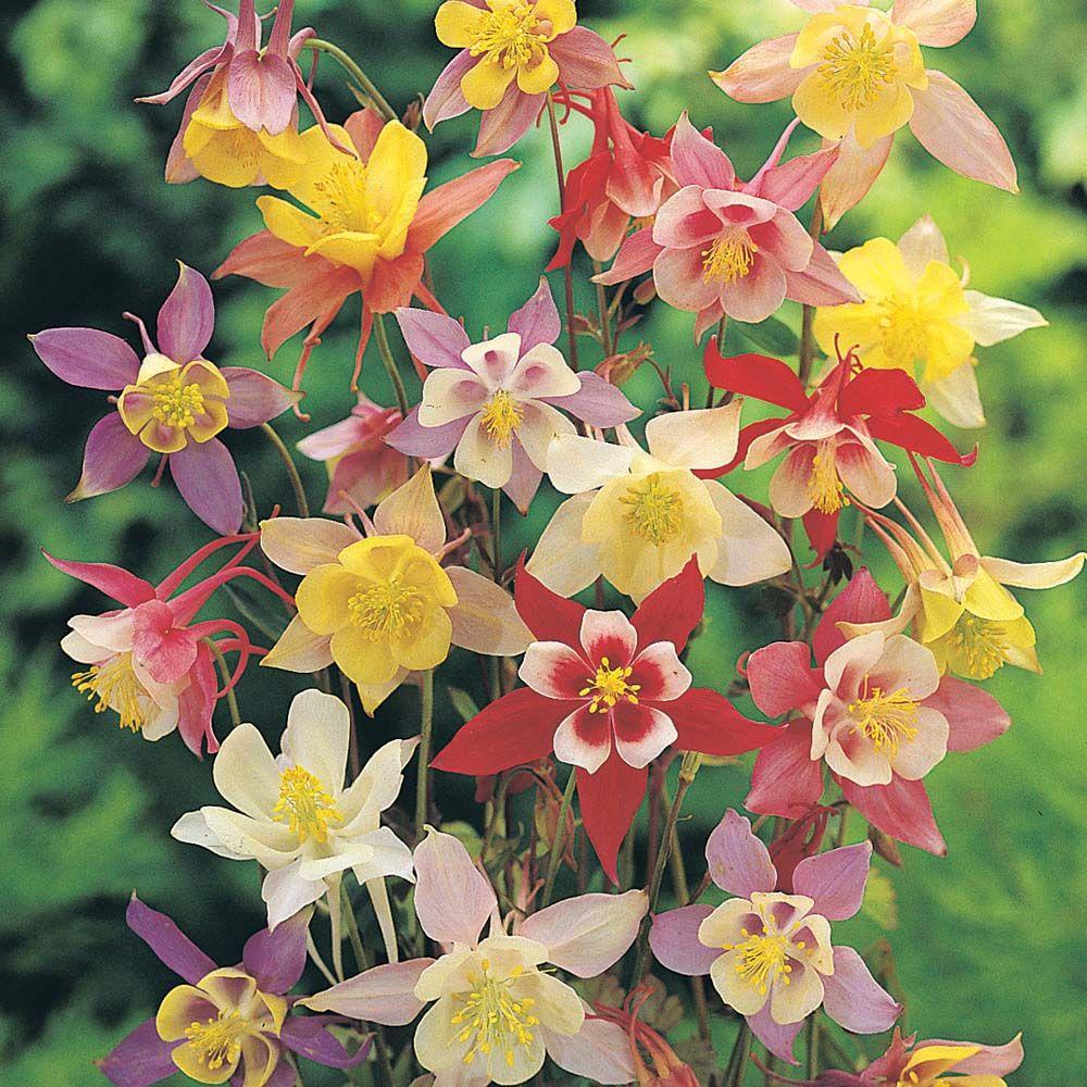 Columbine mckana giants perennial shade or sun 3 flowers columbine mckana giants perennial shade or sun 3 flowers inedible dhlflorist Images