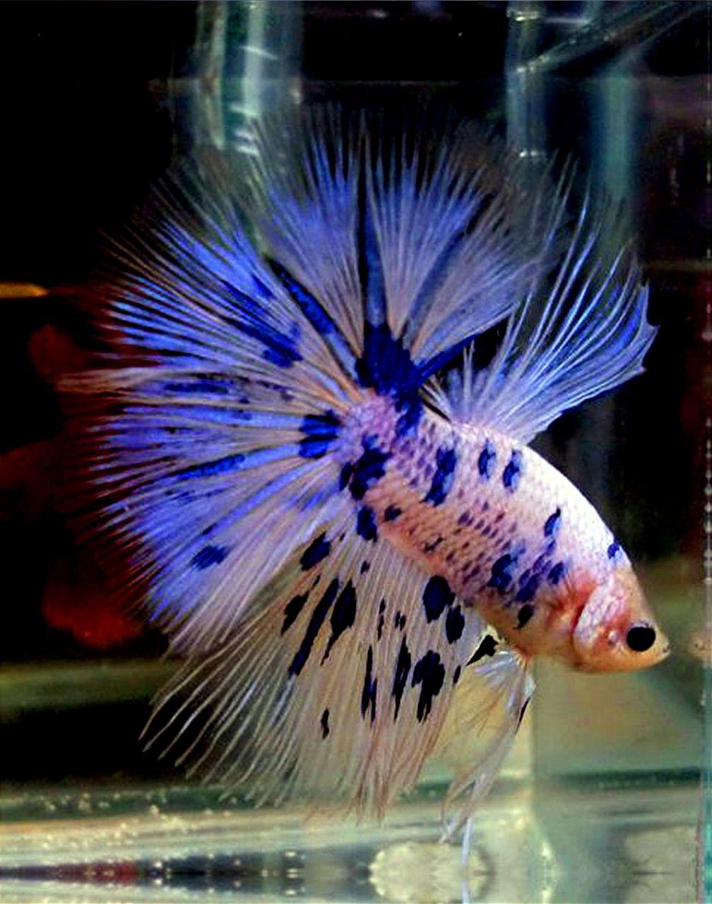 Blue betta dalmatian betta fish bettas in honor of for Betta tropical fish