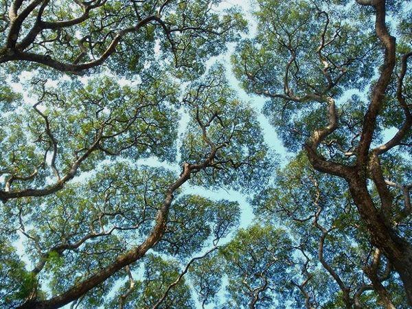 Crown Shyness Is A Phenomenon Where Individual Tree Crowns Avoid - fototapeten f r k che
