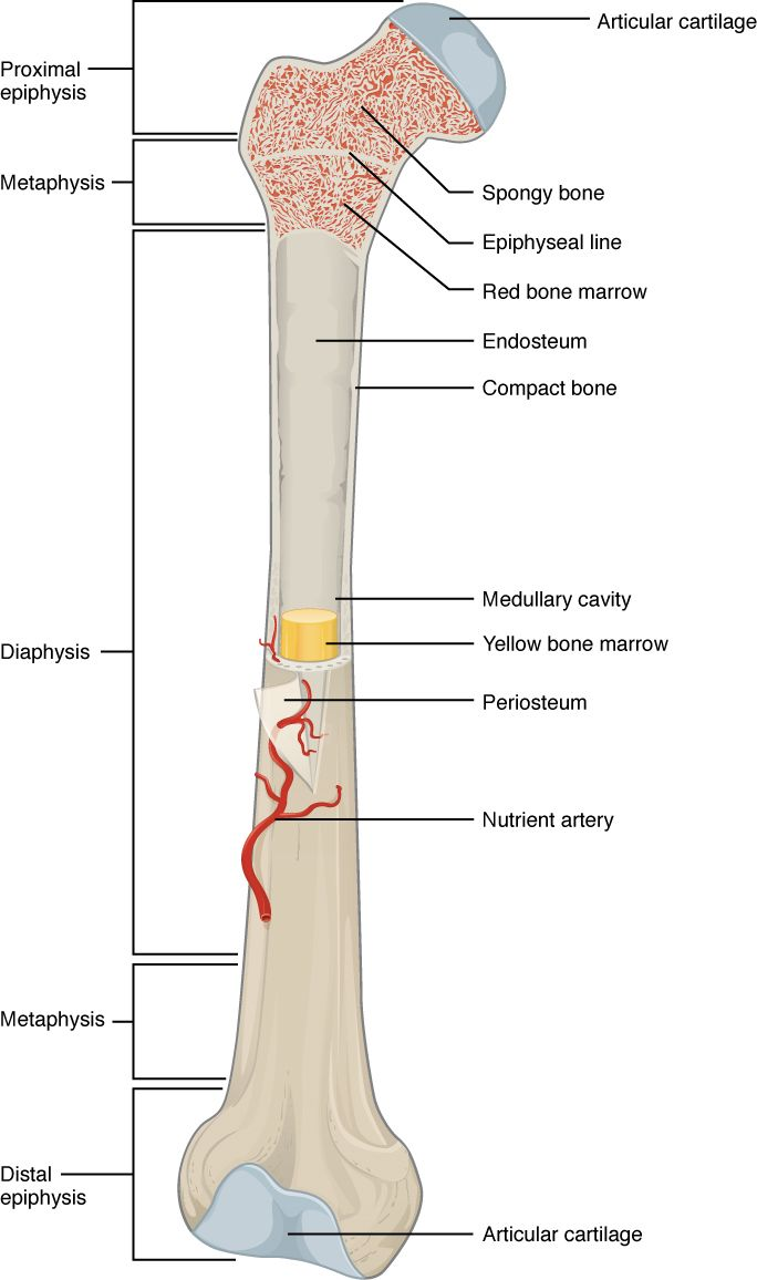 A typical long bone shows the gross anatomical characteristics of ...