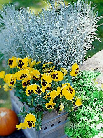 Icicle Licorice Plant With Pansies Trailing Ivy Fall Container