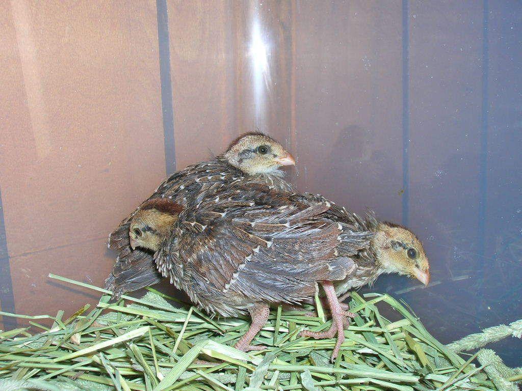 hatching quail eggs and brooding quail chicks backyard chickens quail eggs chickens backyard  [ 1024 x 768 Pixel ]