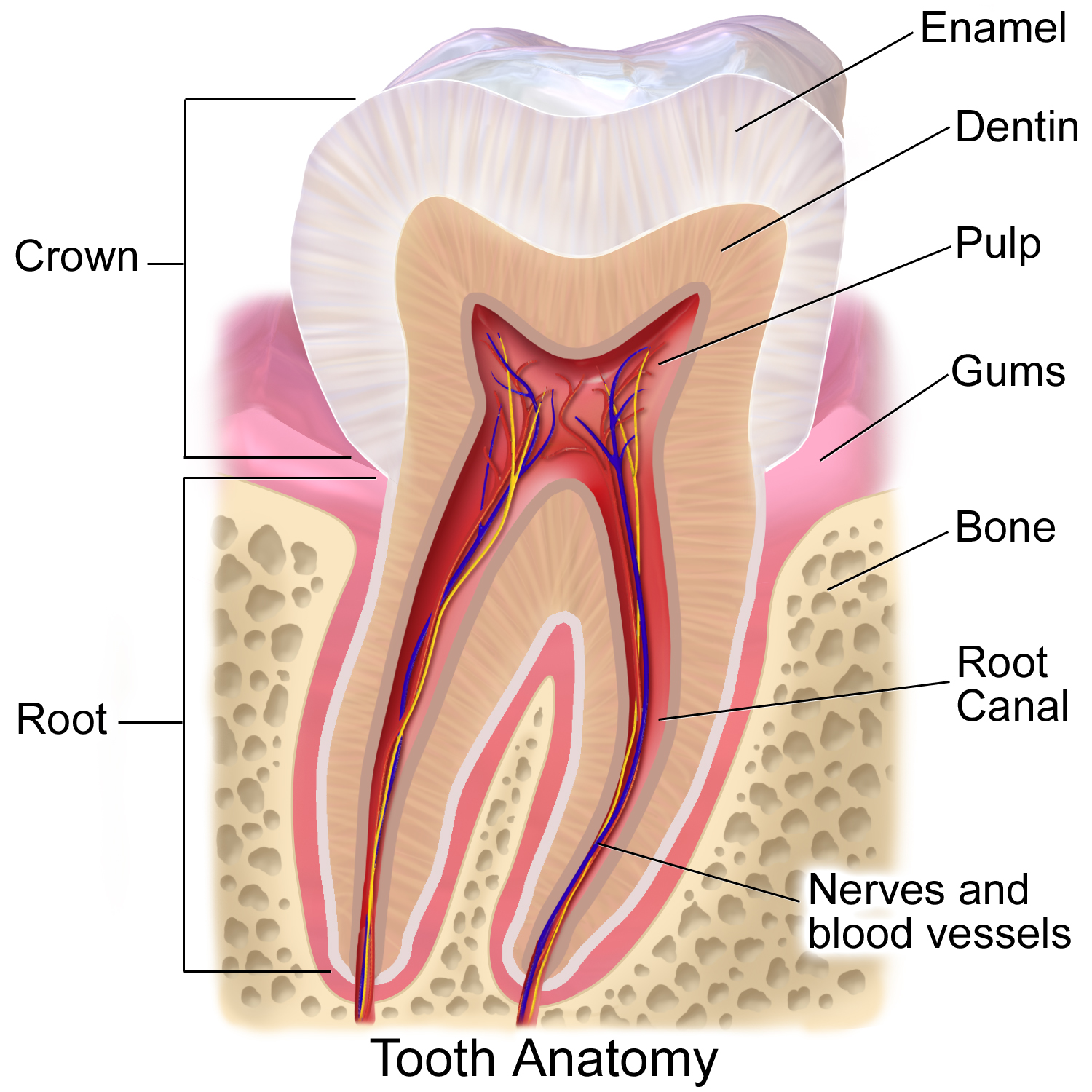 The dental pulp is at the heart of each tooth and it contains ...