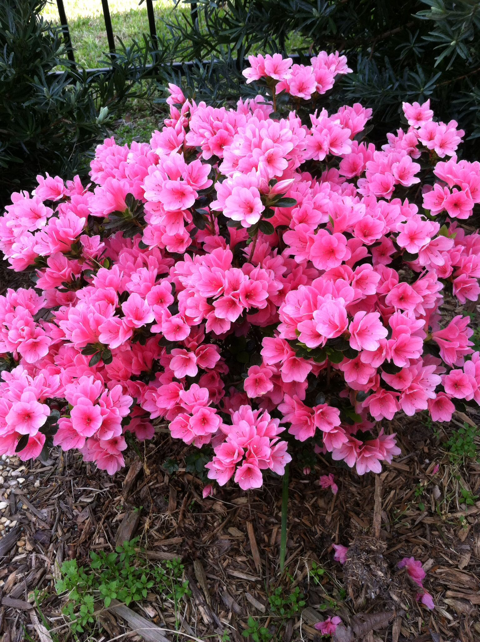 Pin By Rebecca Dugally On My House Gardens Cats Coral Bells Evergreens For Shade Azaleas