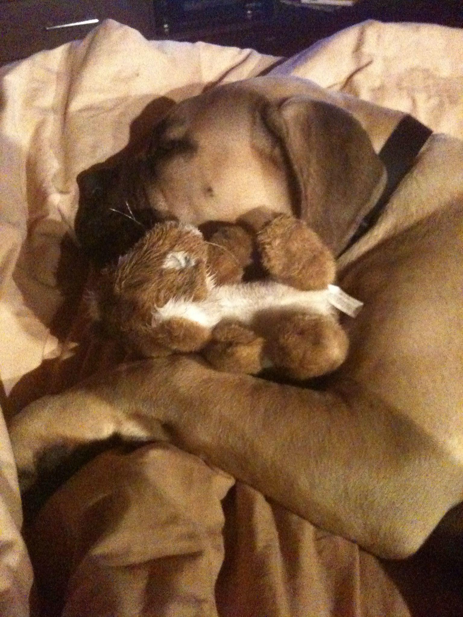 Bullmastiff Bull Mastiff Pet Paws French Mastiff