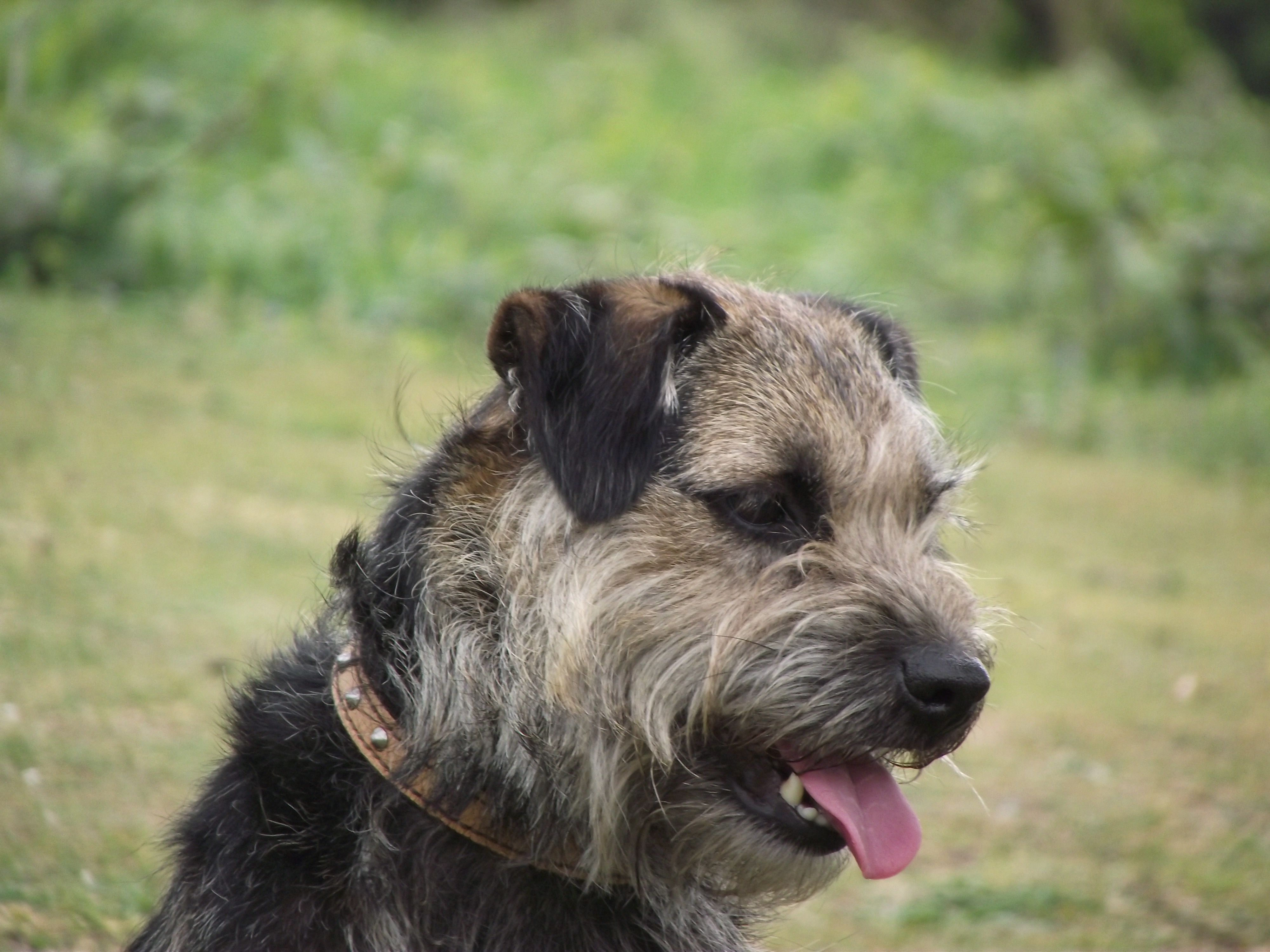 Handsome Charlie Black And Tan Border Terrier Border Terrier