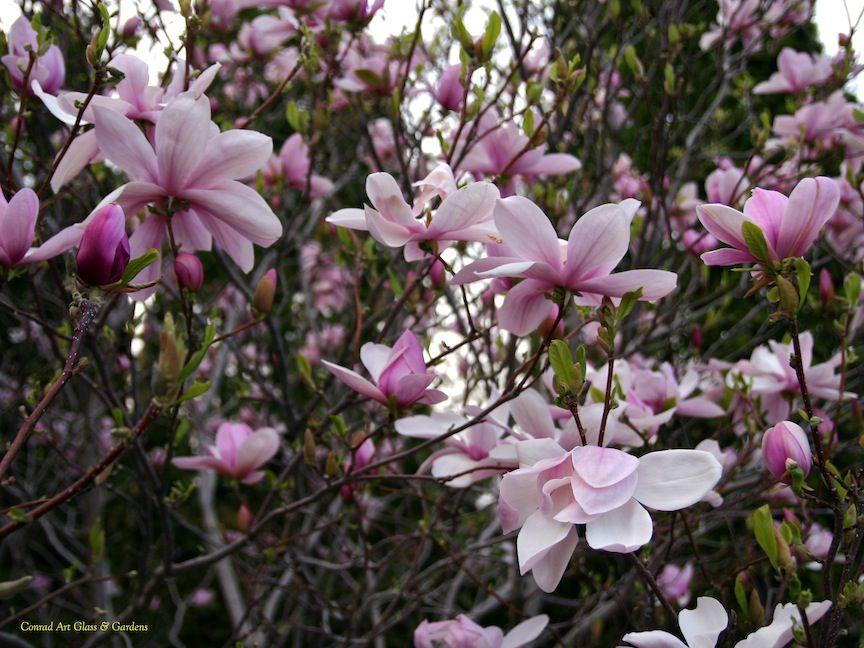 Magnolia Kobus Var Stellata Rosea X M Liliiflora Reflorescens Pinkie Glass Garden Glass Art Flowers