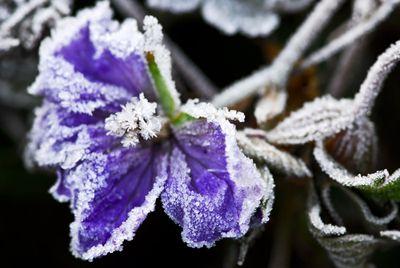 Frost bit flower