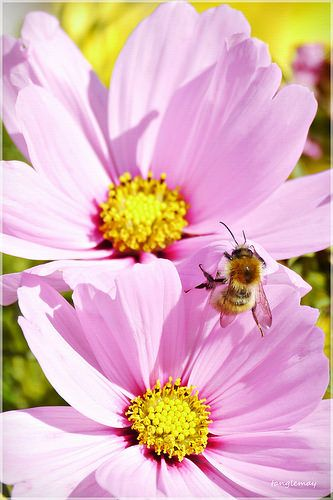 Twin Cosmos Flower And Honey Bee Explored Cosmos Flowers Bee Cosmos