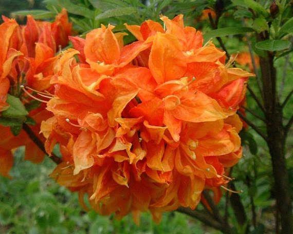 Shrub Or Bush That Has Large Bright Orange Flowers Plants Azaleas Live Plants