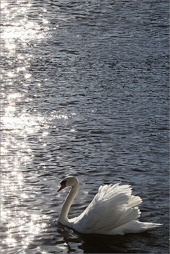 Swan / swans